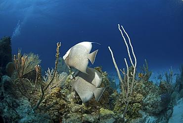 Grey Angelfish (Pomacanthus arcuatus), two fish swimming over coral reef, Cayman Brac, Cayman Islands, Caribbean