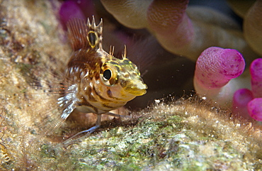 Diamond Blenny (Malacoctenus boehikei). Head and shoulder shot swimming towards camera, Cayman Islands, Caribbean
