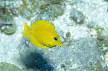 Juvenile Blue Tang (Paracanthurus sp). Caribbean.