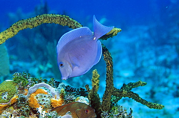 Blue Tang (Paracanthurus sp) feeding on coral reef, Cayman Islands, Caribbean.