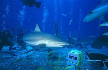 Stuart Cove Shark feed. Bahamas.