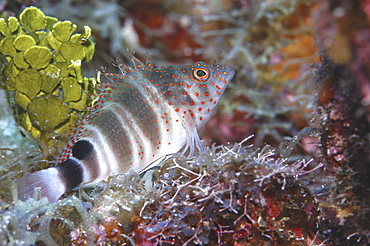 Redspotted Hawkfish (Amblycirrhitus pinos), tupical profile of hawkfish in superb colour, Cayman Brac, Cayman Islands, Caribbean