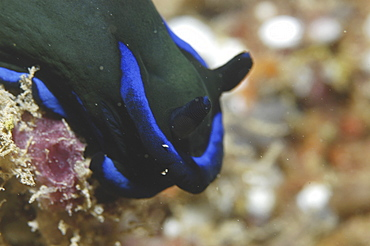 (Nembrotha spp.), detail of nudibranch with dark blue/green skin and brilliant blue markings, Mabul, Borneo, Malaysia, South China Sea
