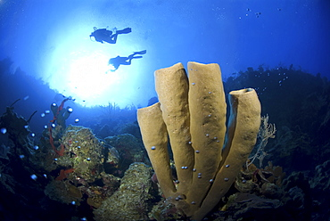 Brown Tube Sponge (Agelas conifera) stand of four tubes against blue water and two scuba divers, Little Cayman Island, Cayman Island, Caribbean