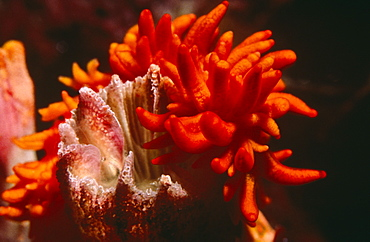 Tubashea sea slug. Amirantes.