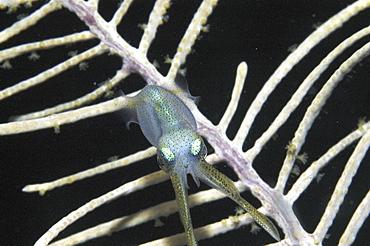 Reef Squid (Sepioteuthis sepioidea), juvenile swimming towards coral sea fan at night,  Little Cayman Island, Cayman Island, Caribbean