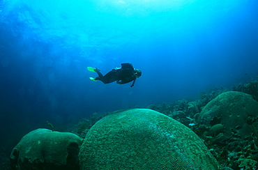 Diver with giant brain coral. Tobago.