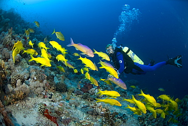 Yellow-saddle Goatfish (Parupeneus cyclostomus), large school of yellow fish swimming over tropical coral reef and Scuba Diver, Red Sea.