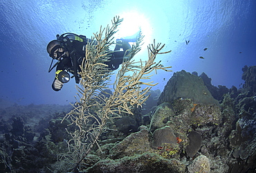 Diver using torch amidst corals, sea fans and sponges, Grand Cayman Island, Cayman Islands, Caribbean