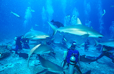 Stuart Cove shark feed, many sharks in coral arena with divers,  Bahamas.