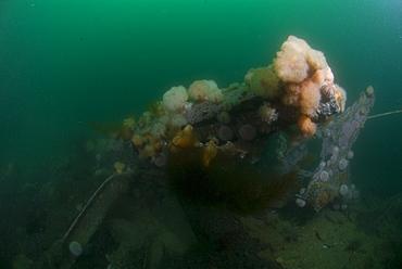 Orange & white Plumose Anemones (Metridium senile) growing over parts of German sunken Battleship from WWII, Orkney Islands, Scotland, UK