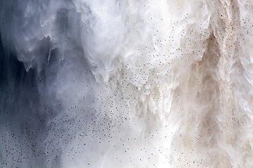 Flock of swifts flying to their roost behind the curtain of falling water of Kaieteur Falls, Guyana, South America