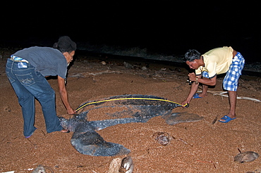 Researchers measuring a female Leatherback turtle (Dermochelys coriacea) at its nest site, Shell Beach, Guyana, South America