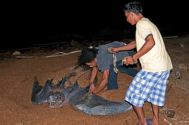 Applying a tag to a Leatherback turtle (Dermochelys coriacea) at its nesting site, Shell Beach, Guyana, South America