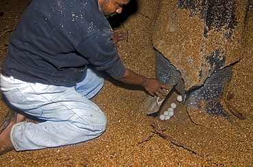 Leatherback turtle (Dermochelys coriacea) laying eggs under the watchful eyes of a conservation worker, Shell Beach, Guyana, South America