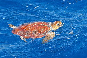 Juvenile loggerhead turtle (Caretta caretta), oceanic stage, breathing at the surface, Northeast Atlantic, offshore Morocco, North Africa, Africa