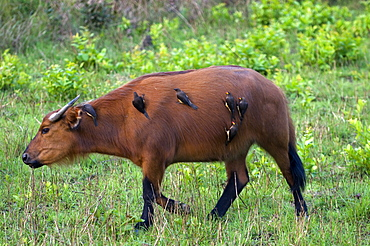 African forest buffalo (Syncerus caffer nanus) with yellow-billed oxpeckers (Buphagus africanus) clinging to its flanks, Parc de la Lekedi, Haut-Ogooue, Gabon, Africa