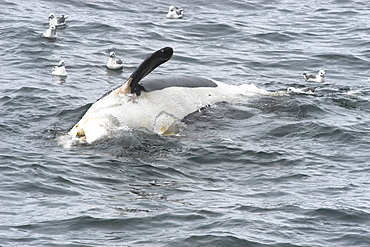 Dead Killer whale (Orcinus orca) floating on sea surface with scavenging fulmars, North Sea   (RR)