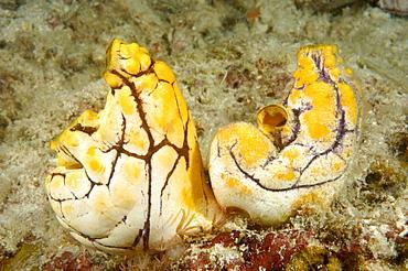 Seasquirt (Polycarpa aurata).  Borneo, Malaysia   (RR)