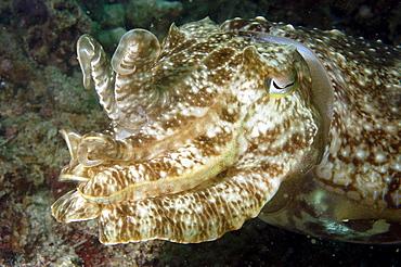 Cuttlefish (Sepia sp).  Borneo, Malaysia   (RR)