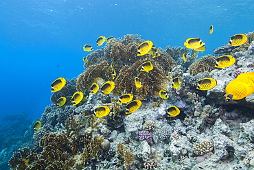 Shoal of Red Sea raccoon butterflyfish (Chaetodon fasciatus), Ras Mohammed National Park, off Sharm el Sheikh, Sinai, Egypt, Red Sea, Egypt, North Africa, Africa