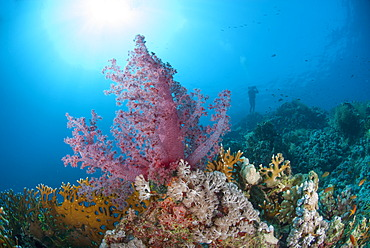 Purple soft coral, Ras Mohammed National Park, off Sharm el Sheikh, Sinai, Egypt, Red Sea, Egypt, North Africa, Africa