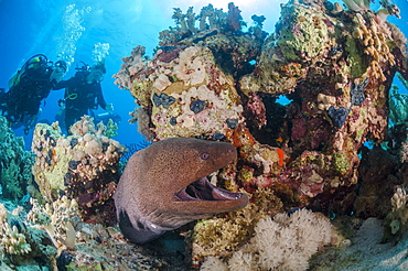 Two scuba divers, giant moray (Gymnothorax javanicus) with open mouth, and coral reef, Ras Mohammed National Park, Red Sea, Egypt, North Africa, Africa