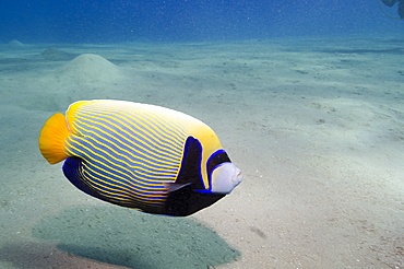 Emperor angelfish (Pomacanthus imperator) close to sandy seabed, Naama Bay, Sharm el-Sheikh, Red Sea, Egypt, North Africa, Africa