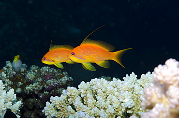 Lyretail anthias (Pseudanthias squamipinnis) side view of two females, Ras Mohammed National Park, off Sharm el-Sheikh, Sinai, Red Sea, Egypt, North Africa, Africa