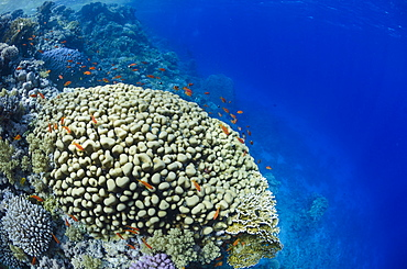 Tropical coral reef scene, Ras Mohammed National Park, off Sharm el-Sheikh, Sinai, Red Sea, Egypt, North Africa, Africa