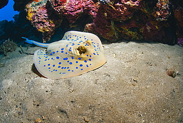 Bluespotted stingray (Taeniura lymma), front side view, Naama Bay, Sharm El Sheikh, Red Sea, Egypt, North Africa, Africa