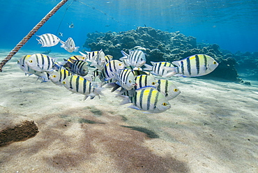 Small school of sergeant major fish (Abudefduf vaigiensis) in shallow sandy bay, Naama Bay, Sharm El Sheikh, Red Sea, Egypt, North Africa, Africa