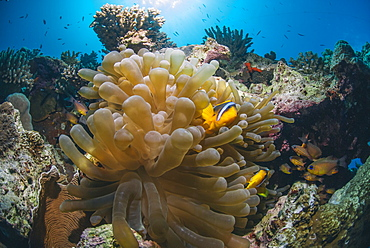 Red Sea Anemone fish (Amphiprion bicinctus) and Bubble anemone (Entacmaea quadricolor), Naama Bay, Sharm El Sheikh, Red Sea, Egypt, North Africa, Africa