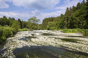 Water crowfoot (Ranunculus fluitans), The Semois River, Semois Valley, Belgian Ardennes, Wallonia region, Belgium, Europe