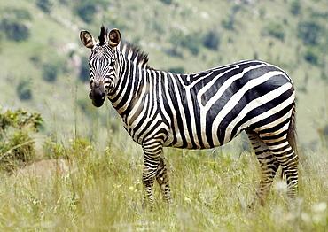 Single Plains Zebra (Equus quagga, formerly Equus burchelli), stands alert, ears forward looking for danger. Kagera National Park, Rwanda, East Africa