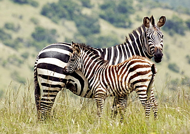 Mother and baby Plains Zebra (Equus quagga, formerly Equus burchelli), stands alert, ears forward looking for danger.  Young Zebra stays close to mother. Kagera National Park, Rwanda, East Africa
