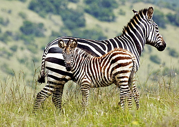 Mother and baby Plains Zebra (Equus quagga, formerly Equus burchelli).  Young Zebra is inquisitive but stays close to mother. Kagera National Park, Rwanda, East Africa