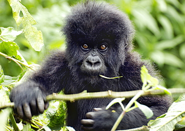 Baby Gorilla living in the mountains of the Volcanoes National Park, Rwanda.  Chewing on a leaf and negotiating a branch in front of them. Volcanoes National Park, Virunga mountains, Rwanda, East Africa
