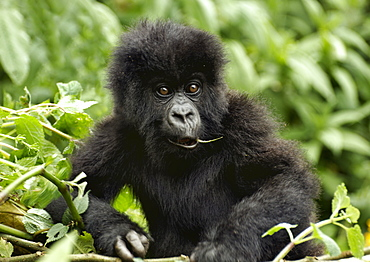 Baby Mountain Gorilla is inquisitive but content in the Volcanoes National Park, munching on a bit of leaf. Volcanoes National Park, Virunga mountains, Rwanda, East Africa