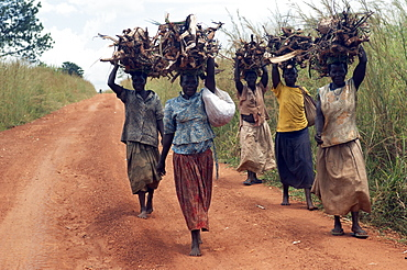 Domestic duties in Uganda include finding wood for burning and domestic improvements.  Here a group of African women are carrying the load back on their heads. Gulu Town, Uganda, East Africa