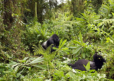 The leader of the Band of Gorilla's the silverback is with the oldest femail of the group, relaxed and comfortable in their surroundings. Volcanoes National Park, Virunga mountains, Rwanda, East Africa