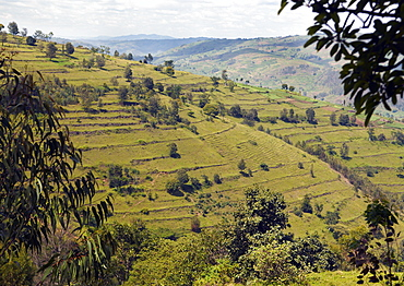 Known as the land of 1000 hills, Rwanda's countryside is reminiscent of a patchwork quilt of small manageable fields growing a variety of crops and agricultural terraces to utilise the land space available. Gitarama, Rwanda, East Africa