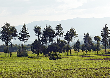 A thin row of trees border one of the fields cultivating crops in the Region of Volcanoes National Park.  The mountain range Silhouetted against the sky. Volcanoes National Park, Virunga mountains, Rwanda, East Africa