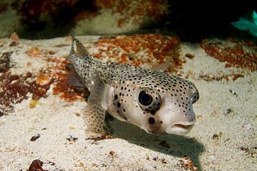 Porcupinefish - Diodon hystrix.  Galapagos, Pacific Ocean