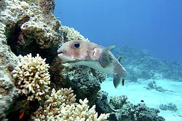Porcupine fish (Diodon hystrix). Red Sea.