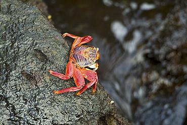 Sally lightfoot crab (Grapsus grapsus). Galapagos.   (rr)