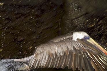 Brown pelican (Pelecanus occidentalis). Galapagos.