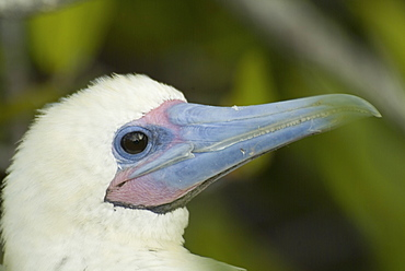 Red-footed booby (Sula sula). Galapagos.   (rr)