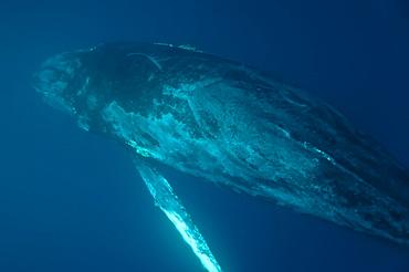 Humpback Whale, Megaptera novaeangliae. Ecuador