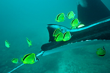 Manta Birstris showing cleaning station activity. Observations part of project elasmo, conservation project in Ecuador.
